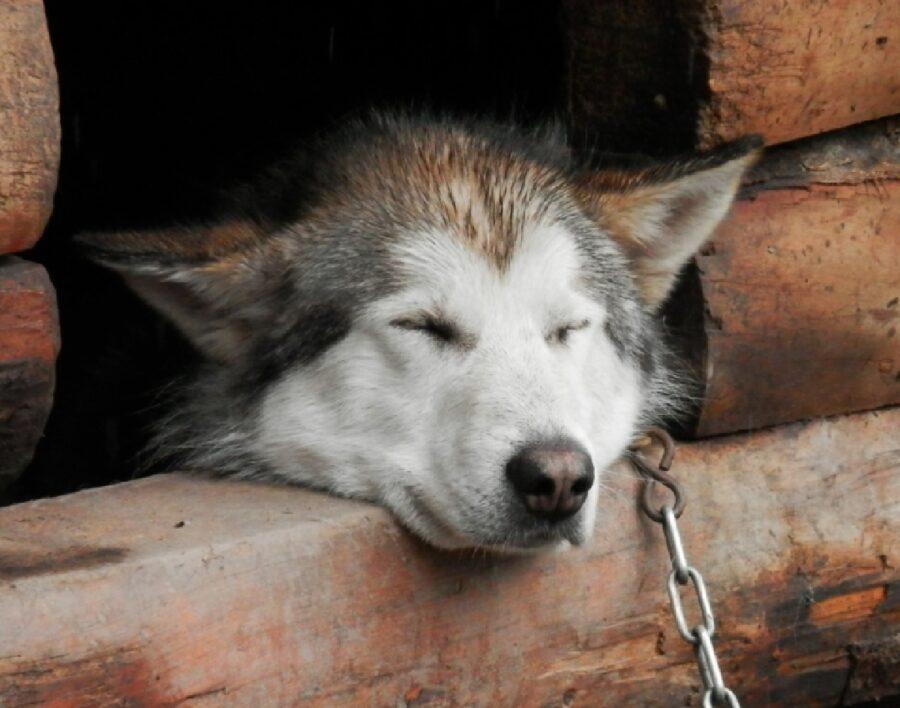 cane legato dentro cuccia