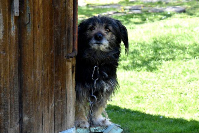 pesanti sanzioni per cani costretti