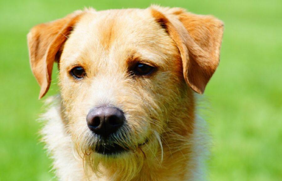 cane pelo chiaro erba