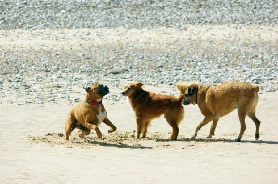 cani insieme divertimento