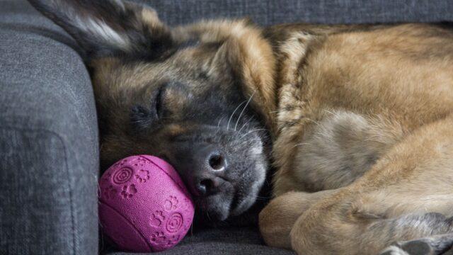 cane dorme con pallina
