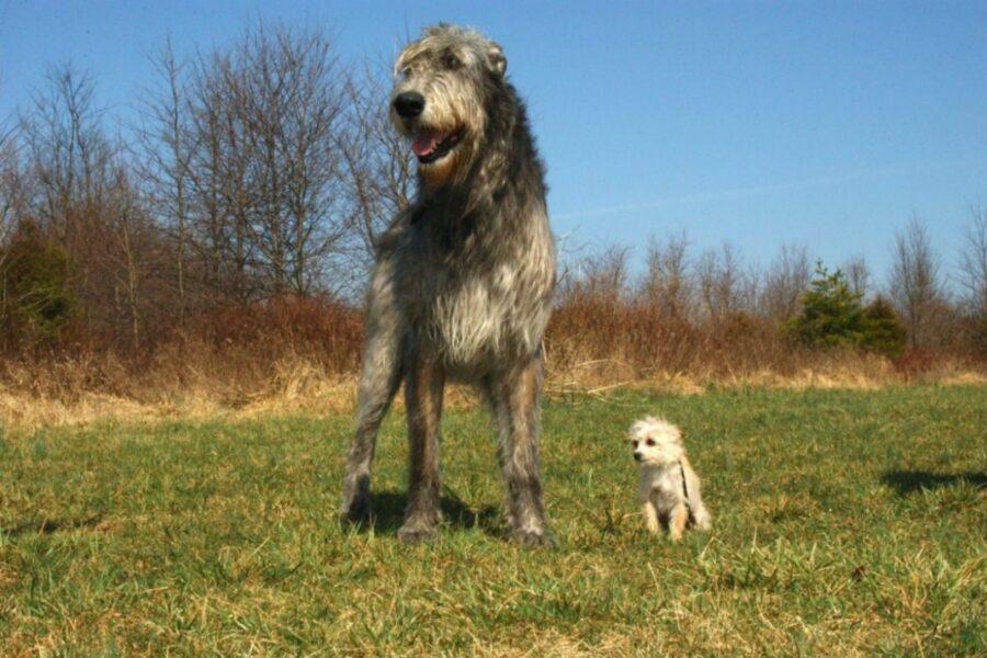 cane gigante accanto a un cane piccolo