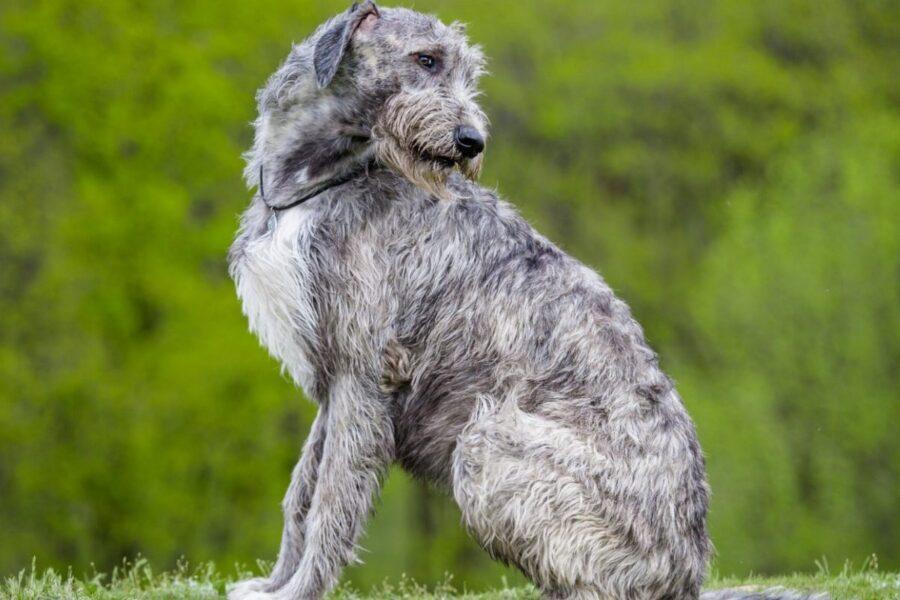 cane grigio