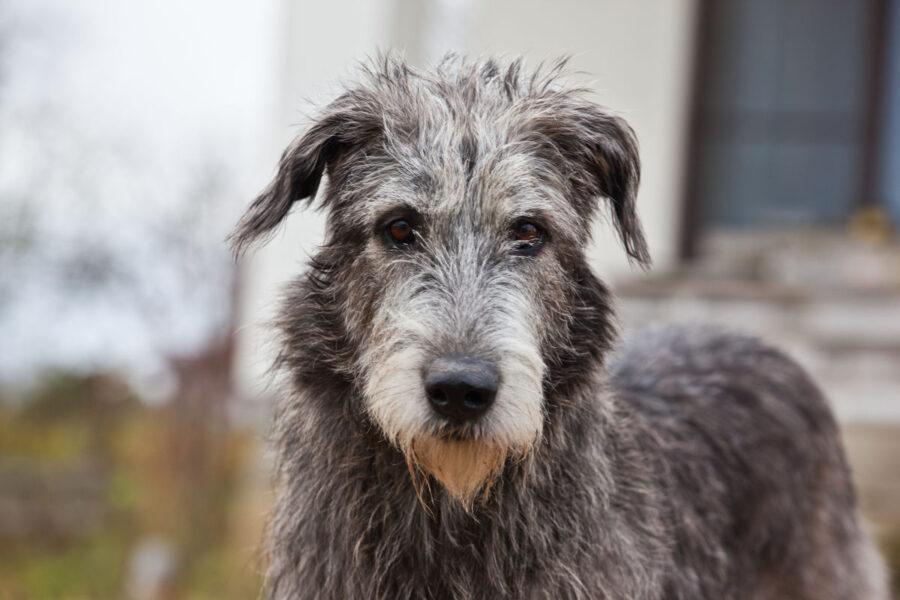 cane con il pelo grigio
