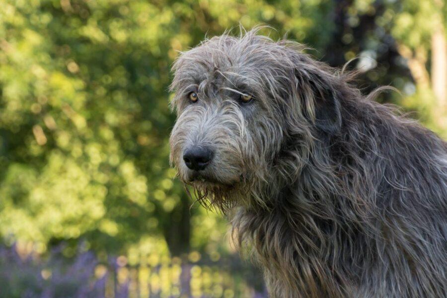 cane con il pelo ruvido