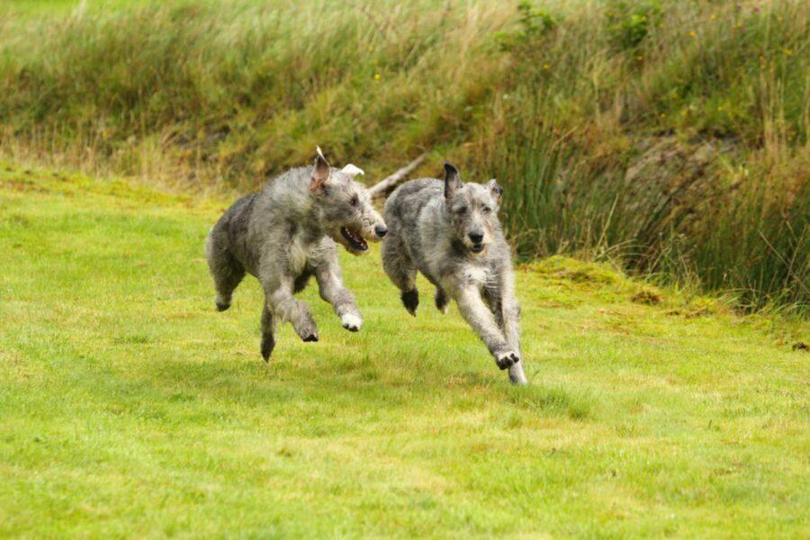 cani che corrono sul prato
