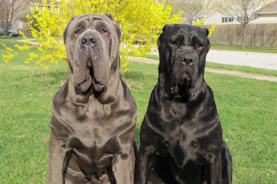 due cani mastino napoletano