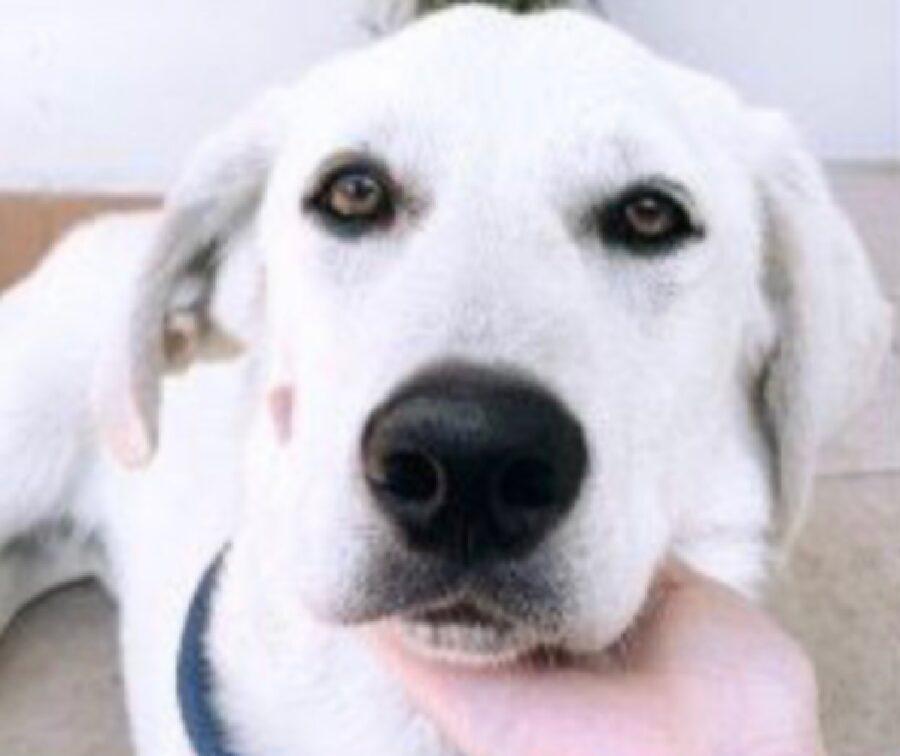 cane labrador muso naso nero