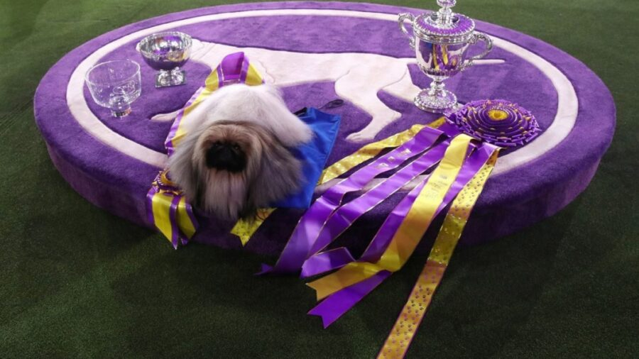 cane pechinese vince concorso