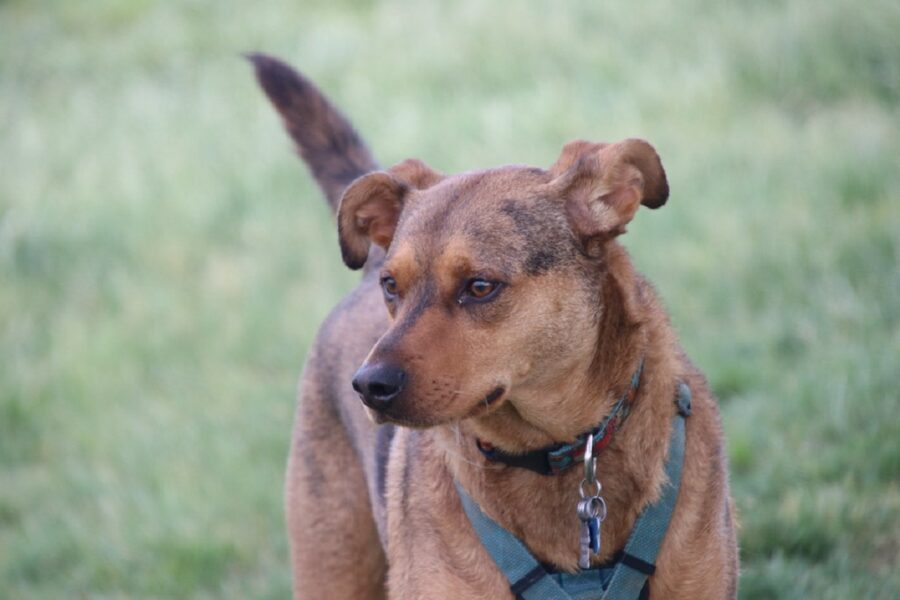 cane cucciolo coda