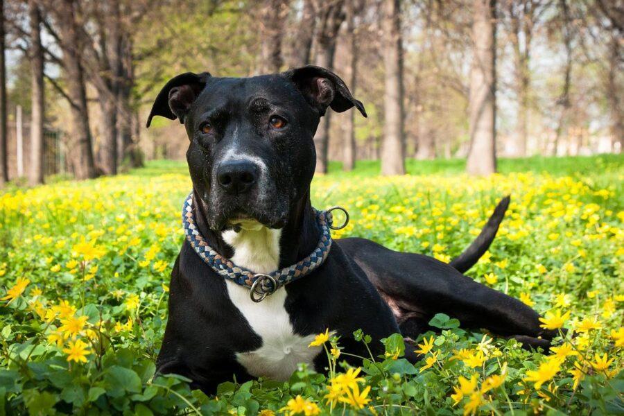 cane nero in mezzo ai fiori