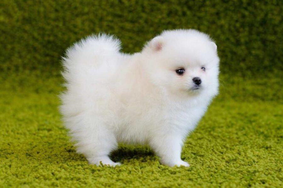 cucciolo tutto bianco