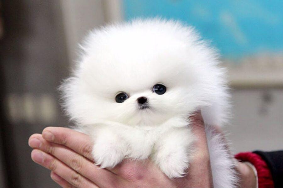 cucciolo di pomerania bianco