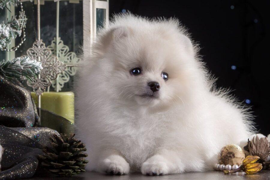 cagnolino bianco
