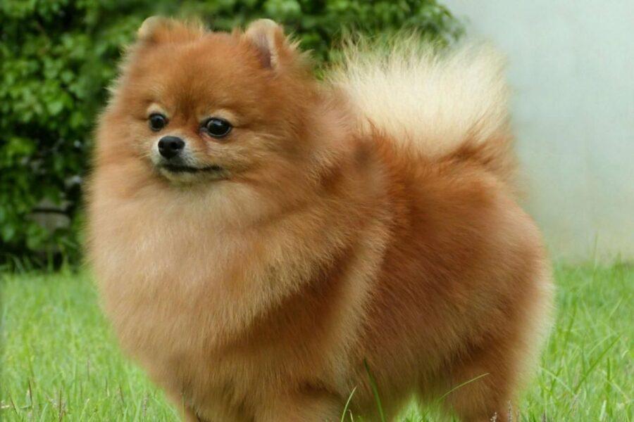 cane con coda pelosissima