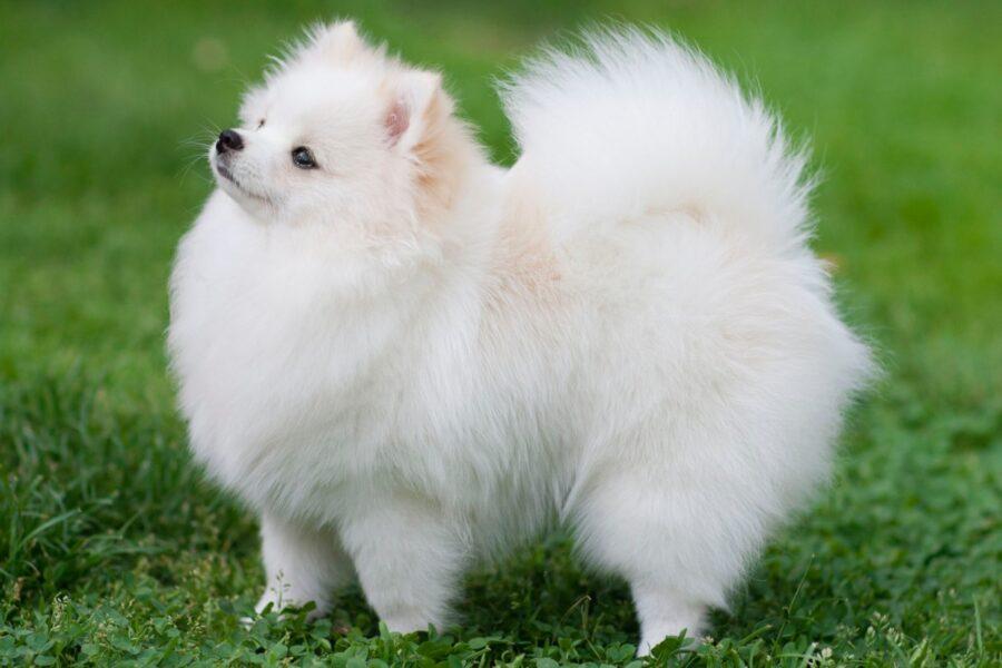 cane bianco a pelo lungo