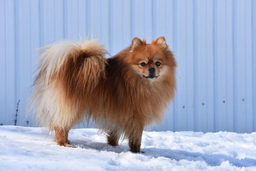 cane da neve