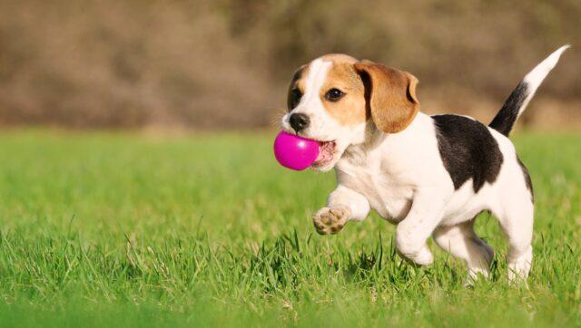 cucciolo di beagle gioca sull'erba