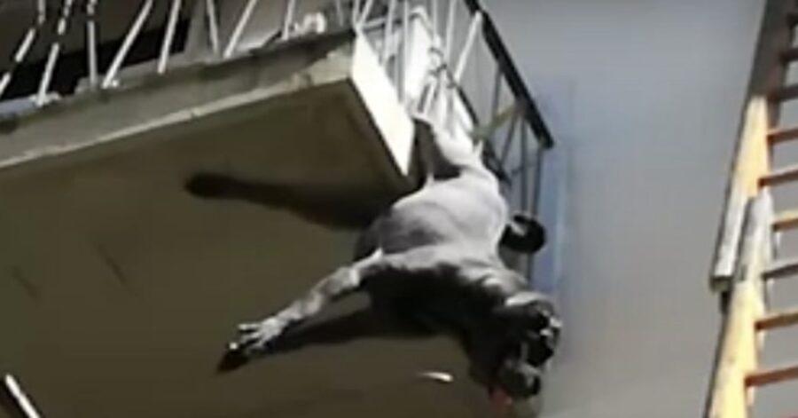 Cane appeso a un terrazzo a Montevarchi