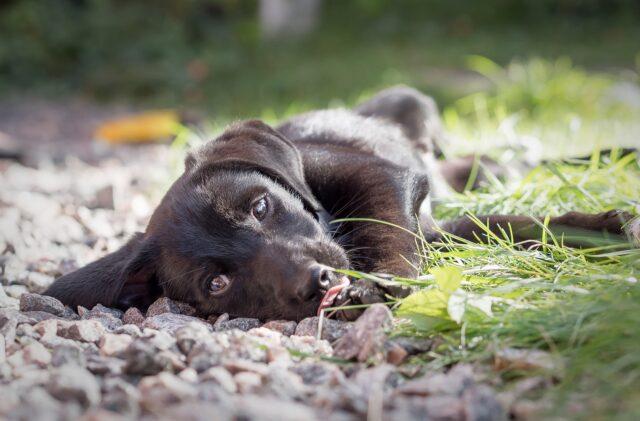 cane meticcio sdraiato a terra