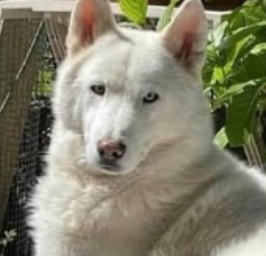 cane dakota dietro siepe