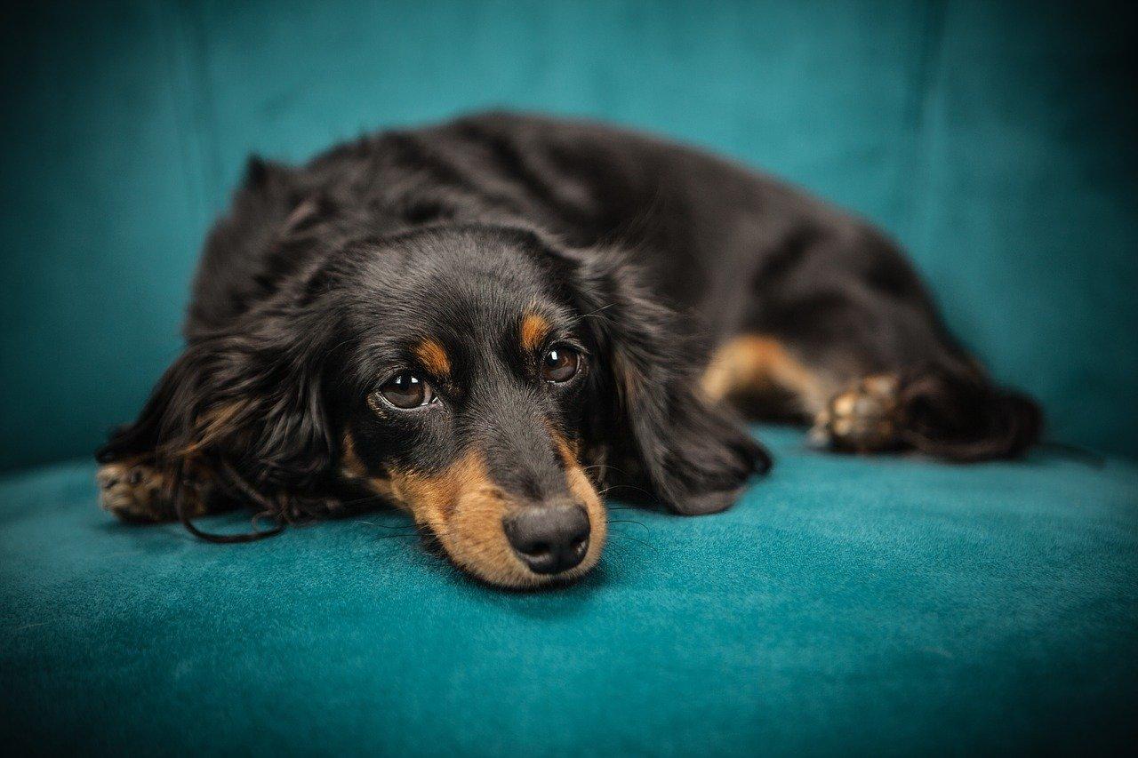 cane sdraiato senza forze