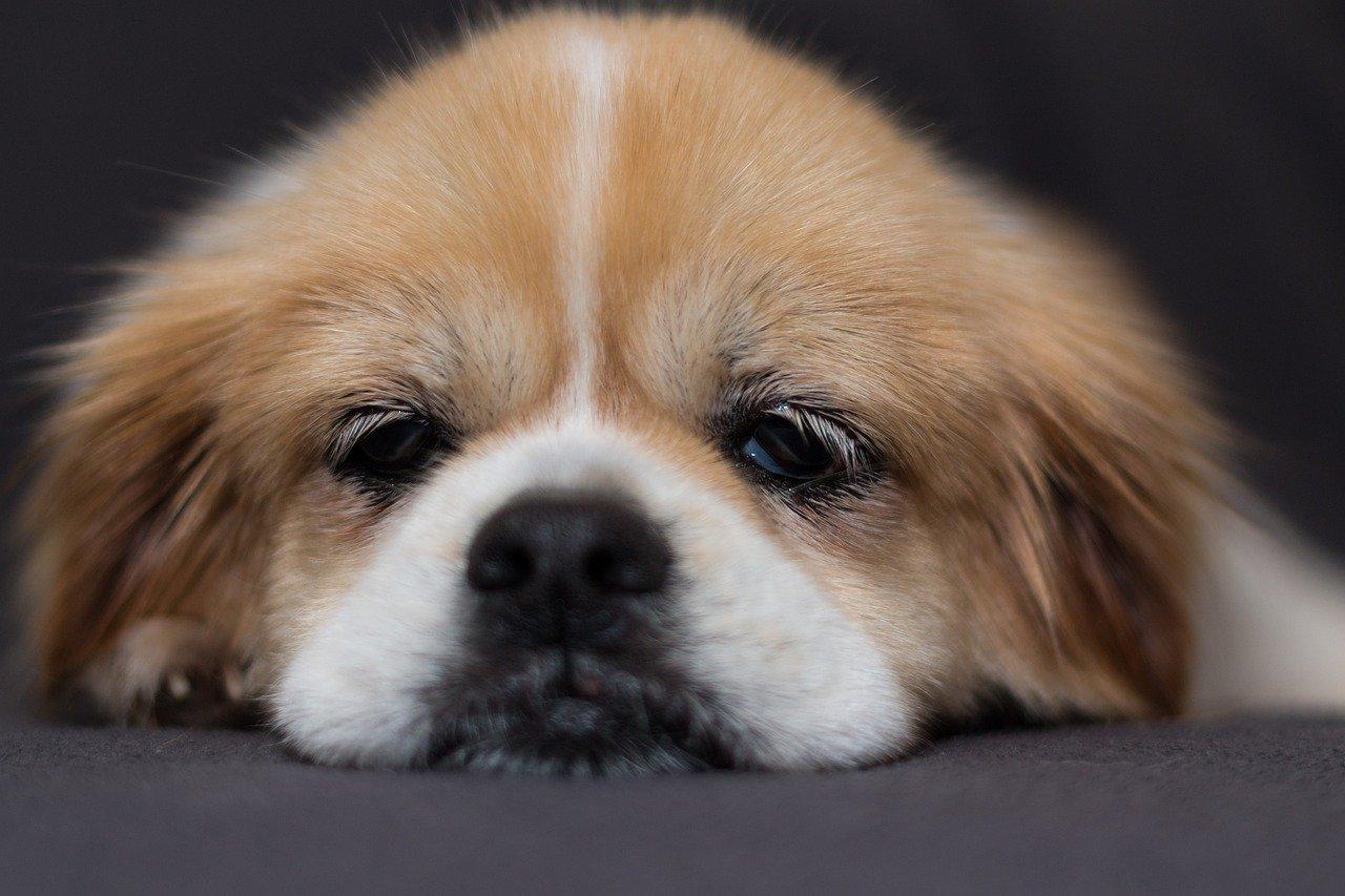 cane naso schiacciato