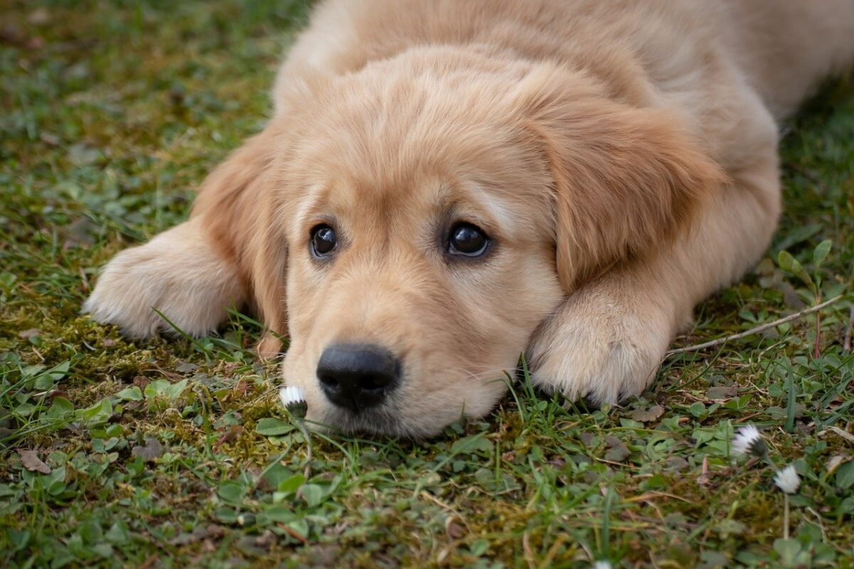 cucciolo di labrador in giardino
