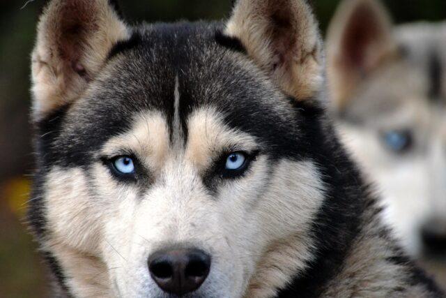 cane occhi azzurri
