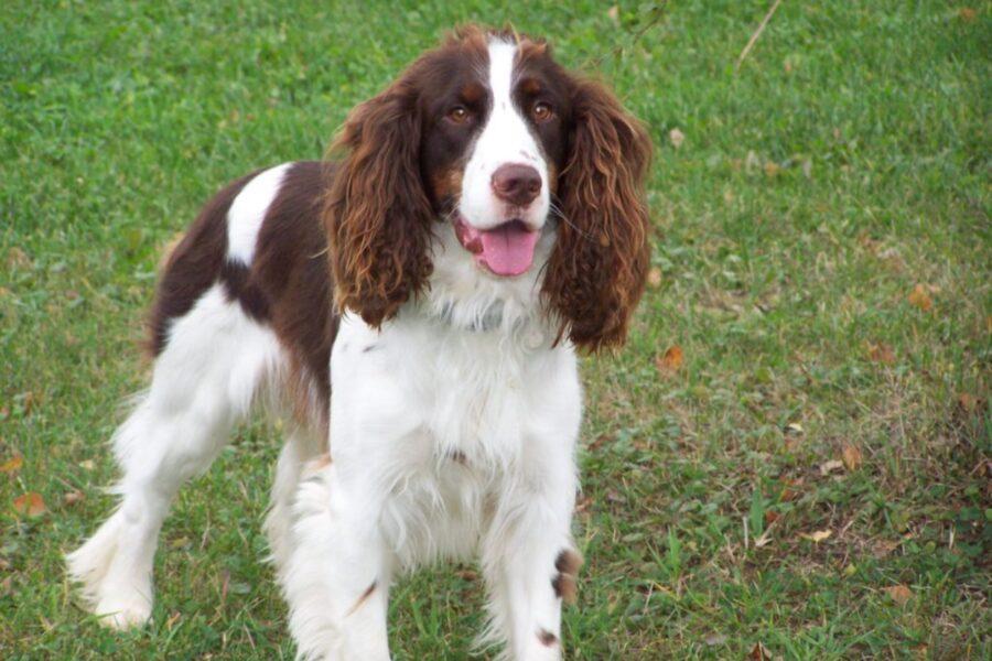 cane da caccia inglese