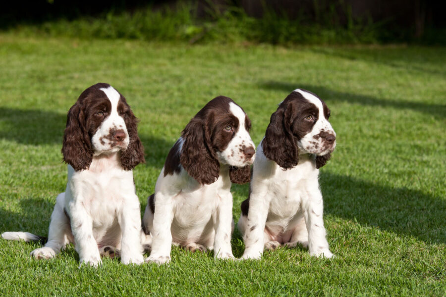 cuccioli di cane springer spaniel