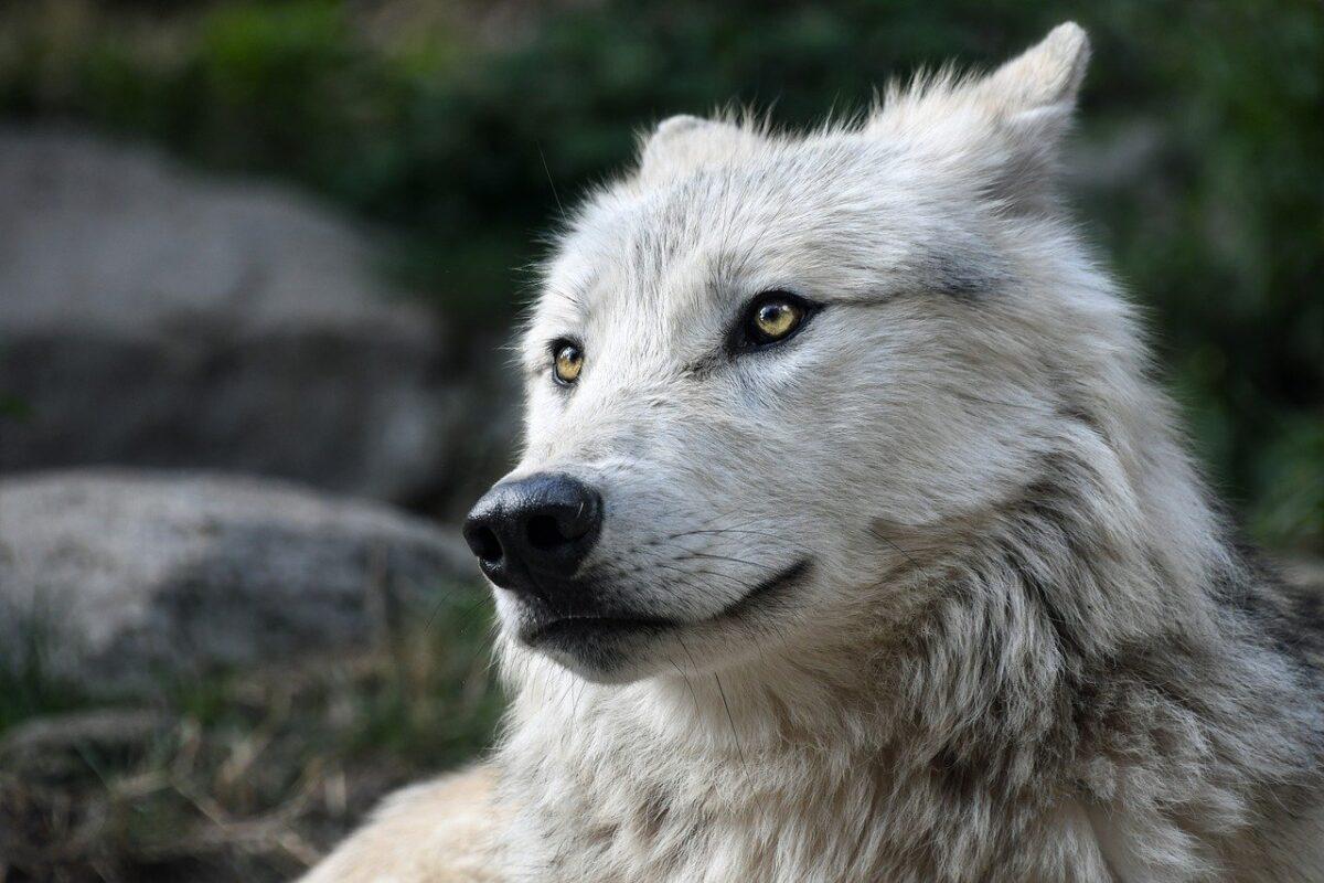 viso di cane lupo