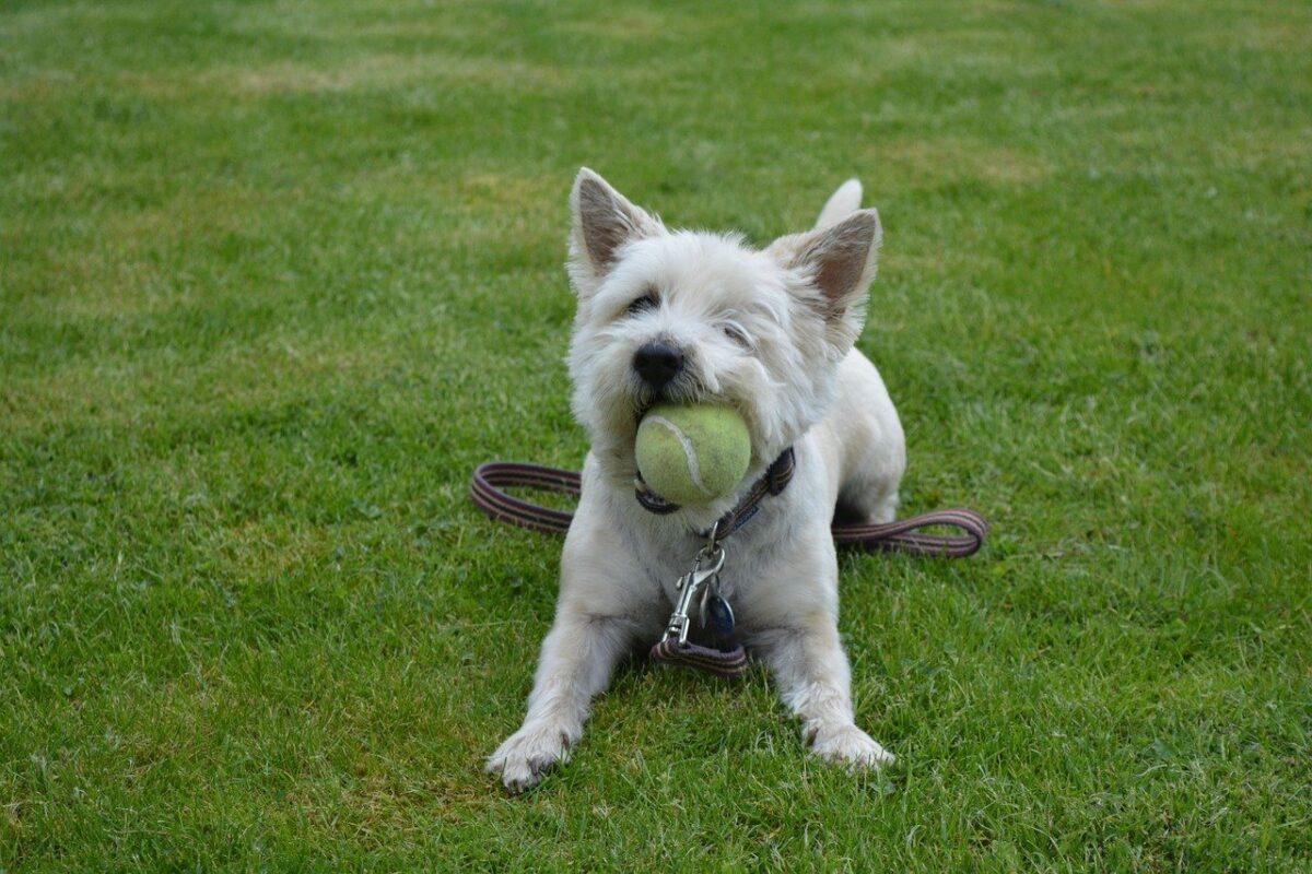 cane con la pallina da tennis