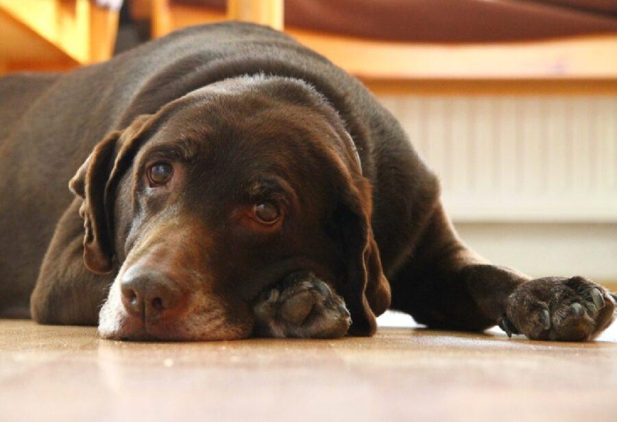 cane labrador disteso sul pavimento