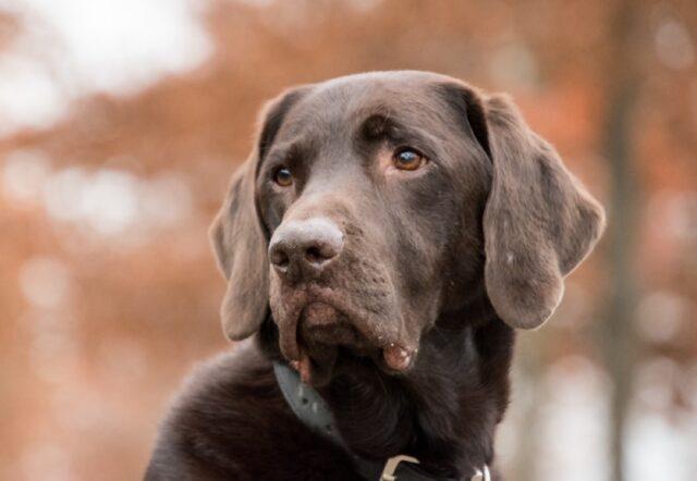 cane labrador si teme rapimento