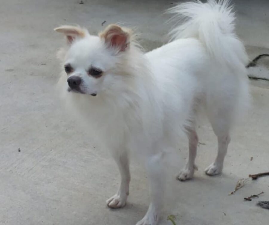 cane sull'asfalto pelo bianco