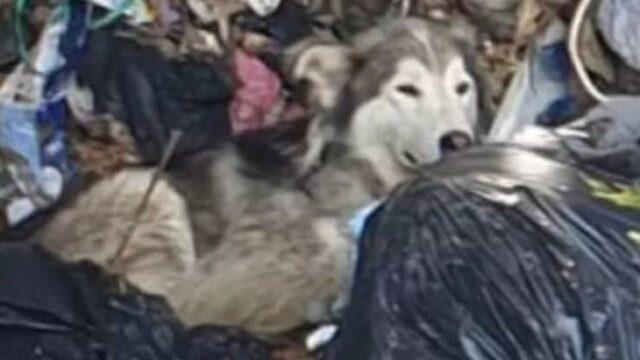 toto il cane husky salvato