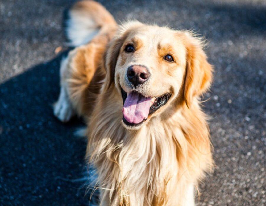cane golden sorriso unico