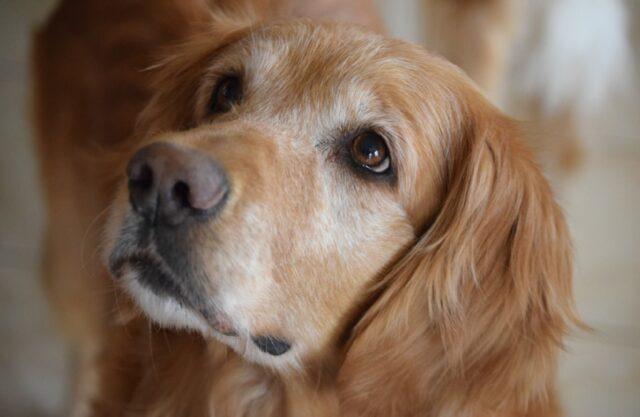 cane golden retriever scomparso ricerche