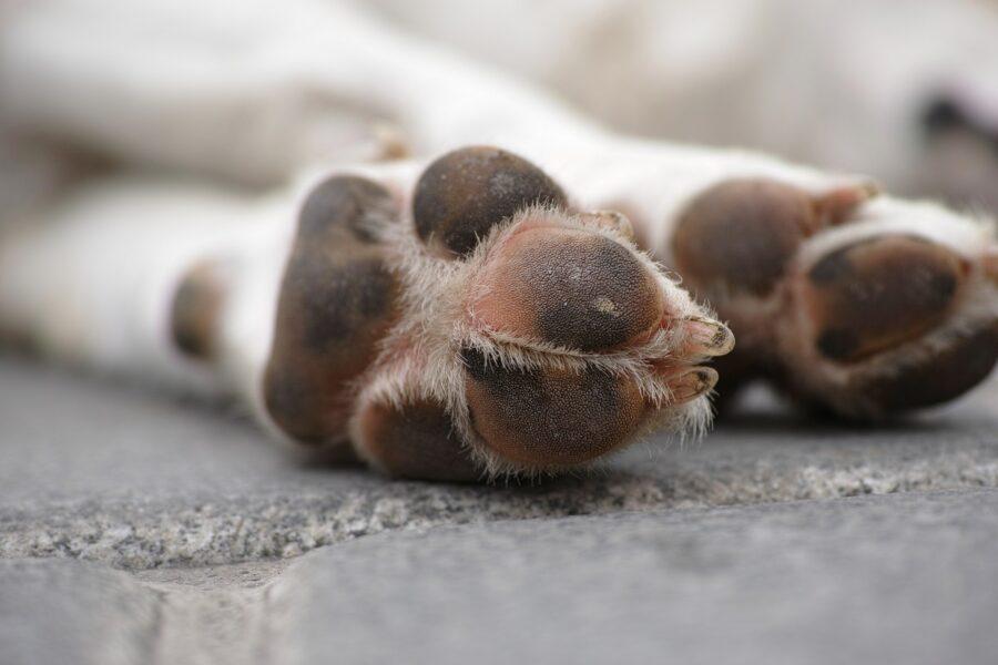 zampe di cane con unghie lunghe