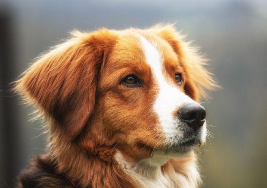 cane pelo marroncino faccia