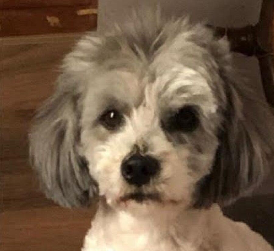 cagnolino pelo faccia bianco grigio