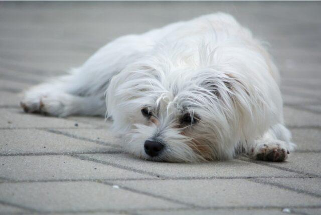 cane disperso pino non si ritrova