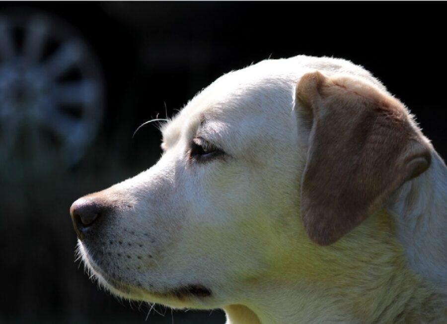 cane labrador colpito dal sole