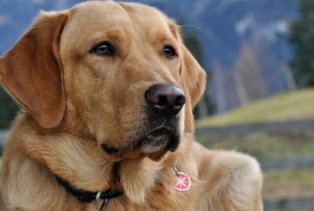 cane labrador anziano si perde