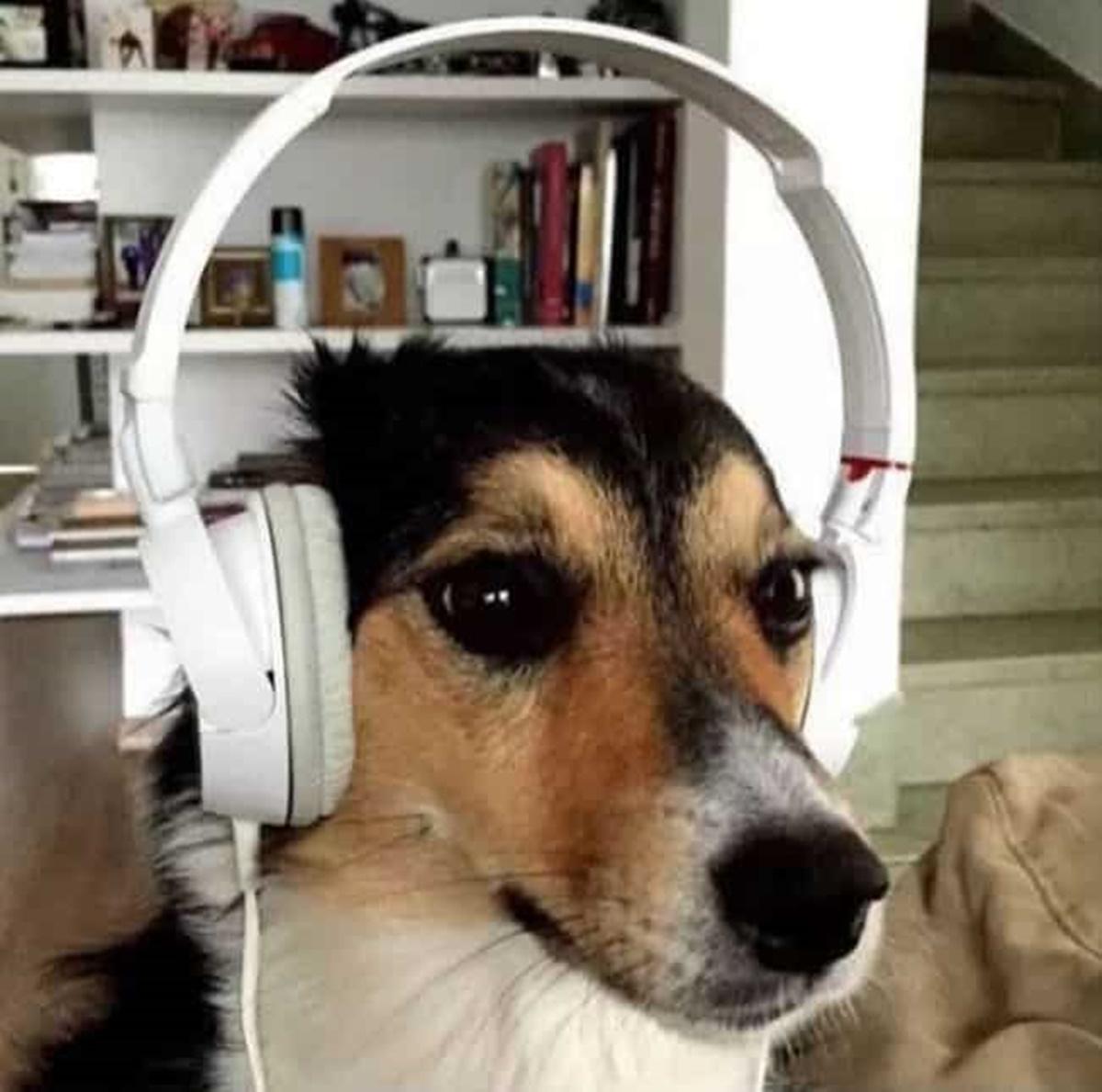 cane cuffie