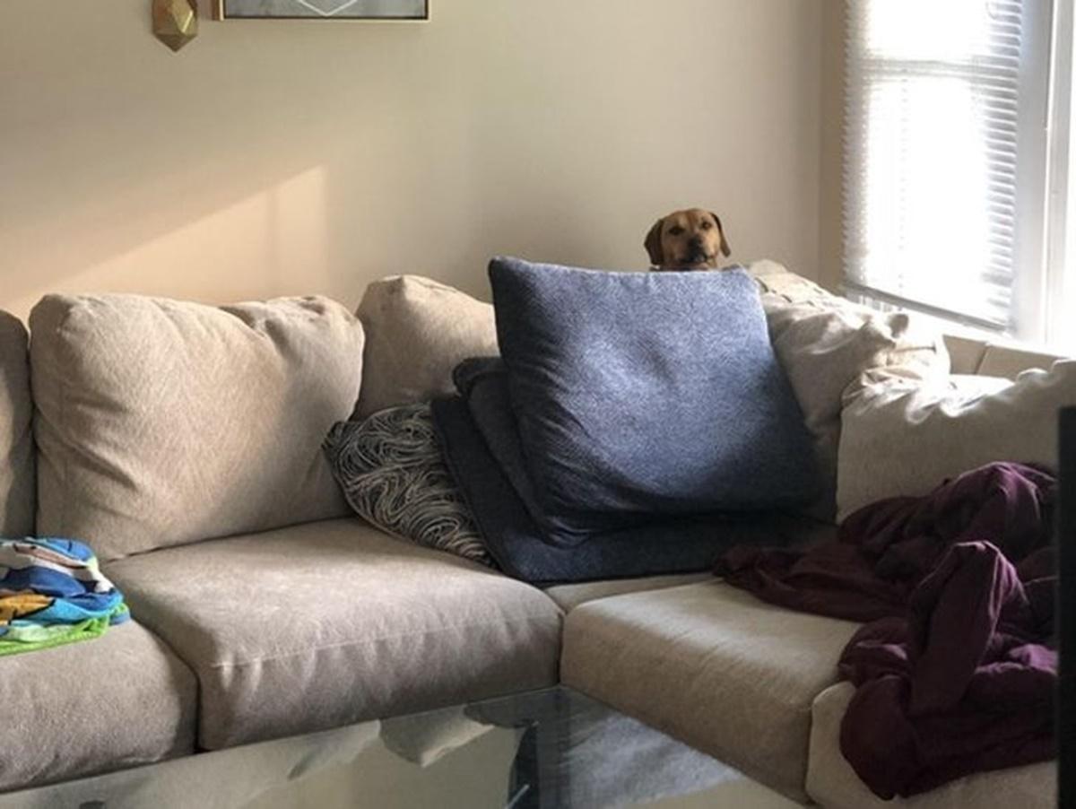 cane scudo