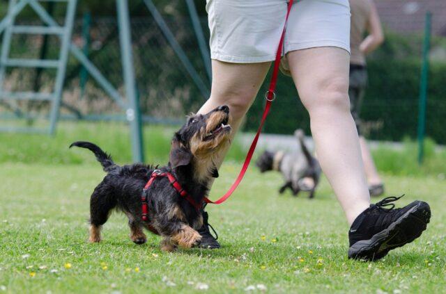 cucciolo cammina padrone