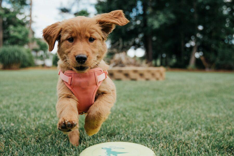 cucciolo corre gioioso