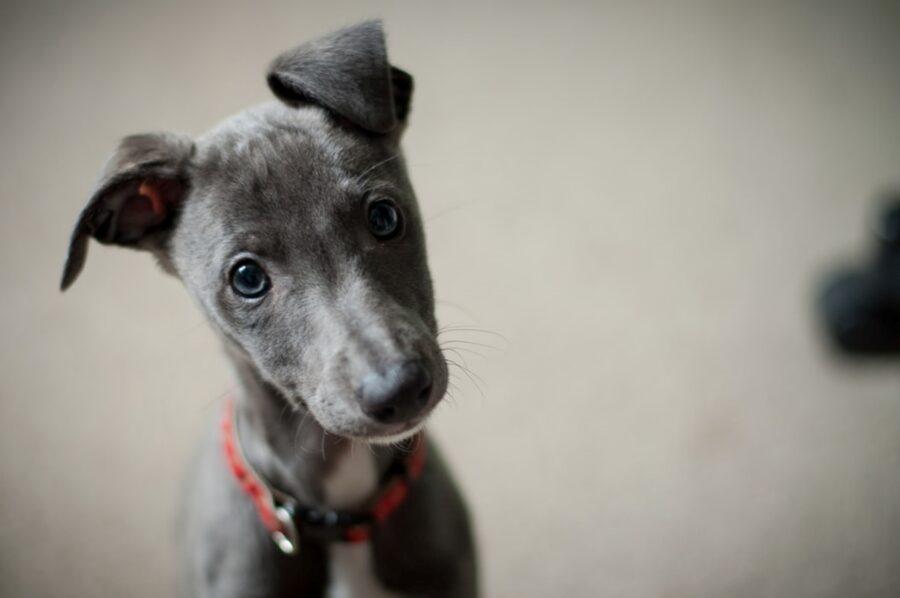 cucciolo orecchie dritte